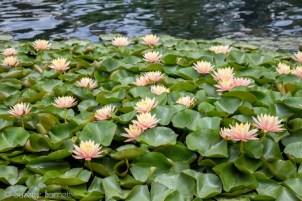 Bed of lotus flowers