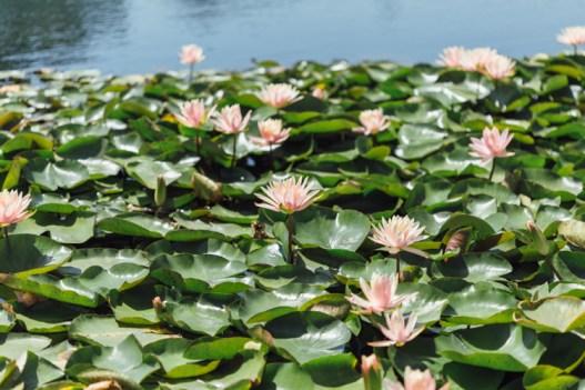 Bed of crisp pink lotus flowers