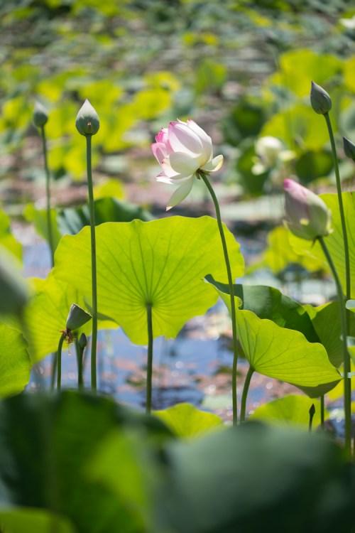 Windswept lotus flower