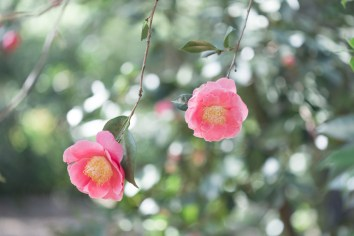 Hana-Fuki (Camellia Japonica)