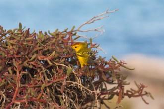 Galapagos Yellow Warbler Bird