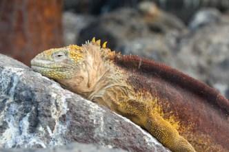 Galapagos Iguana on South Plaza Island, Ecuador