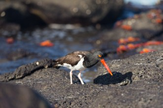 Sea birds eating from the rocks of Mosquera Island