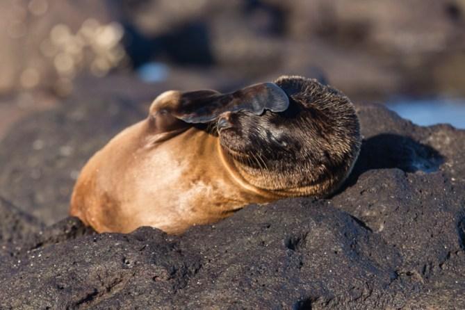 Wild sea lion on Mosquera Island, Ecuador
