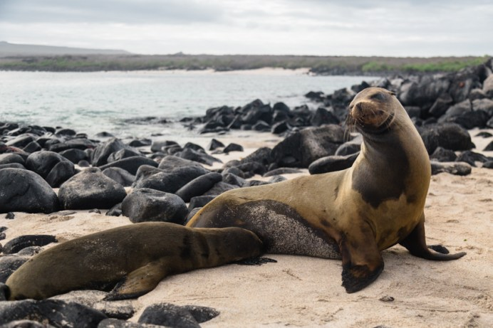 Wild sea lion on Espanola Island in Galapagos National Park