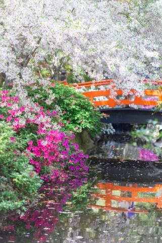 cherry blossoms Japanese garden