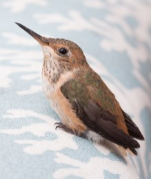 wild hummingbird baby