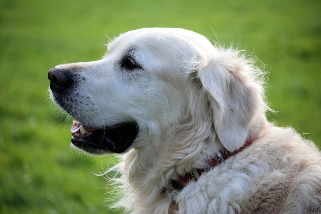 retriever, canine, pet