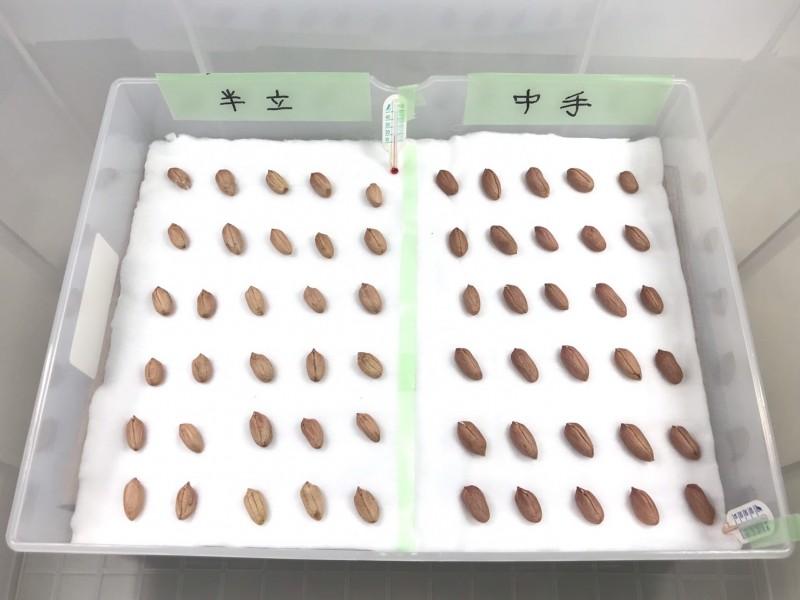 落花生の種。発芽実験