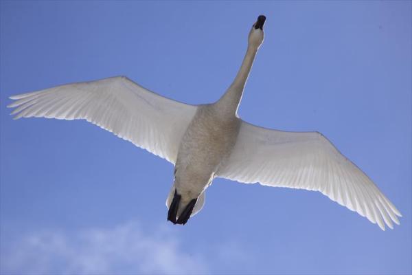 猪苗代湖と白鳥