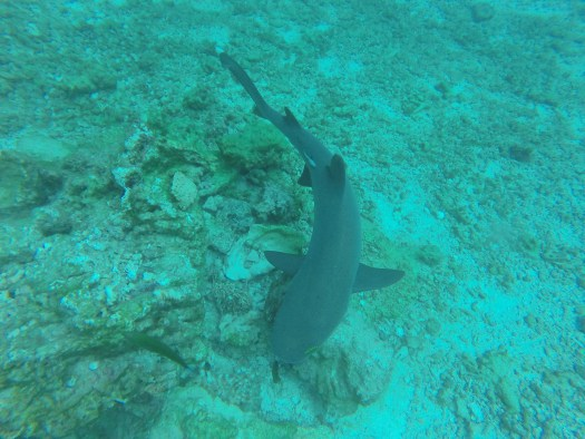 One of many hungry reef sharks exploring the coral in the Yasawa Islands, Fiji