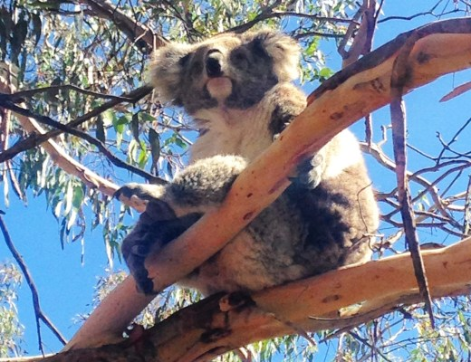 koala sits in tree on phillip island