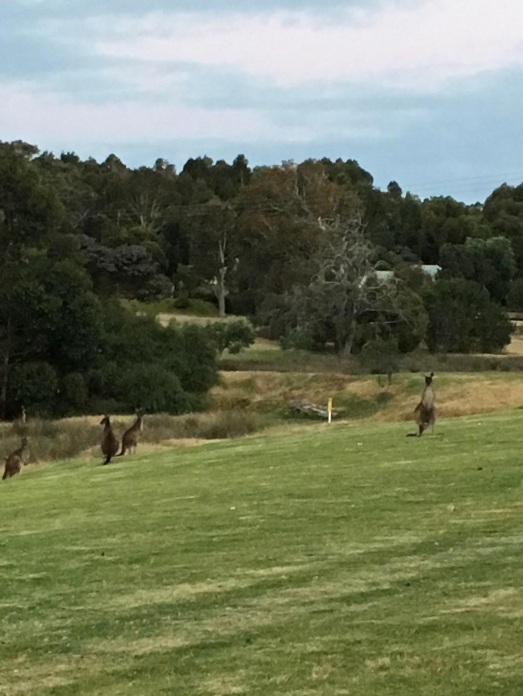 Kangaroos in a field in Australia