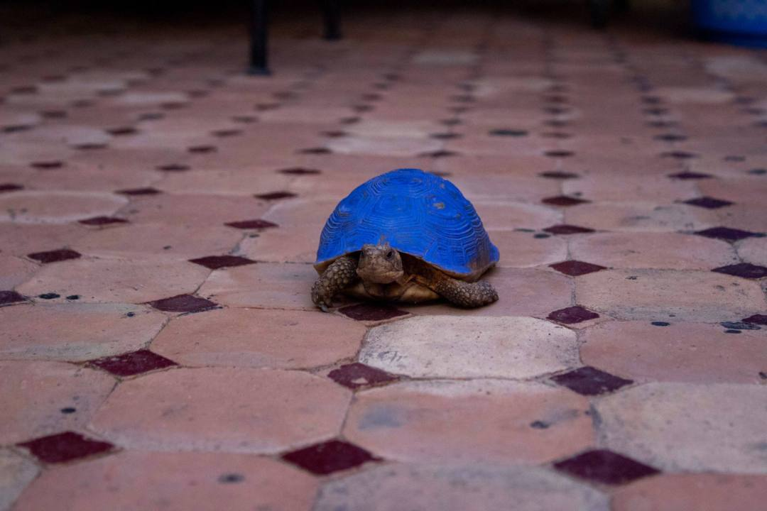 tortoise with blue painted shell on tiled floor