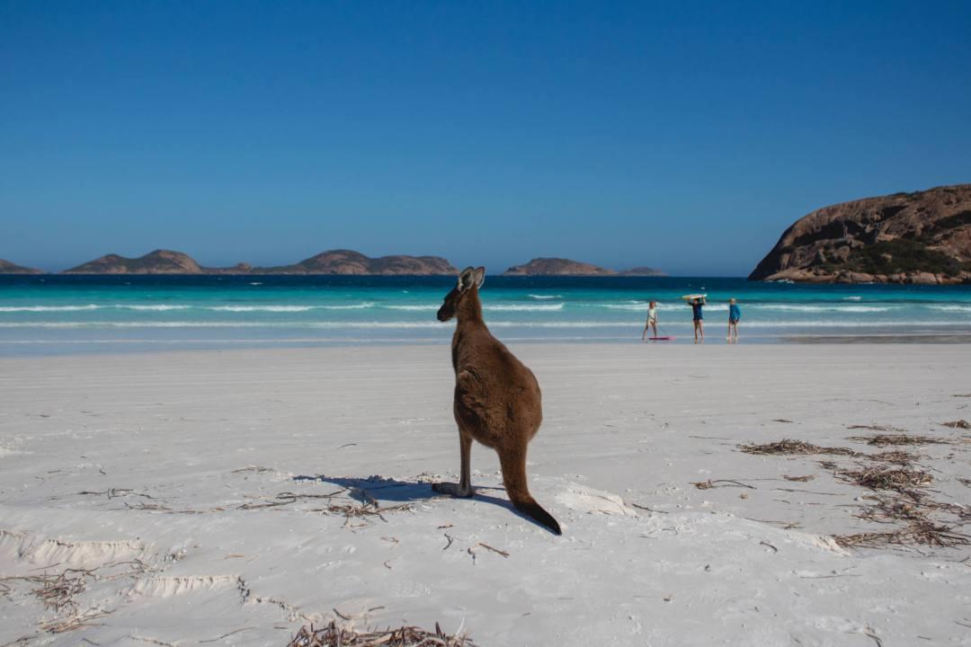 Esperance kangaroo on beach