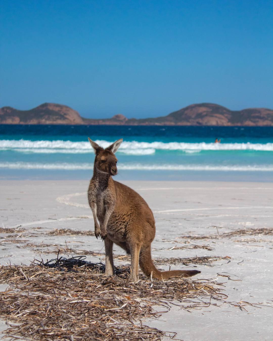 Wild kangaroo on Lucky Bay beach