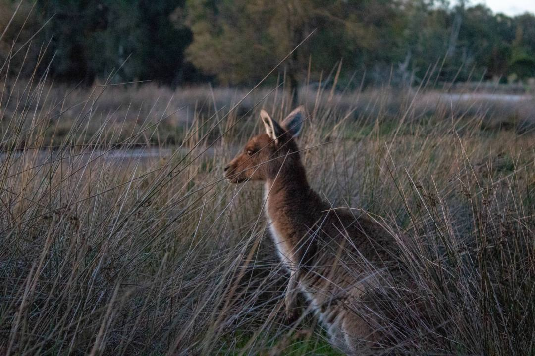 kangaroo at sunset in bushland