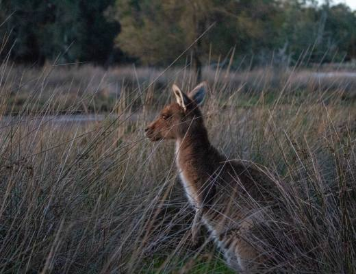kangaroo at sunset in bushland