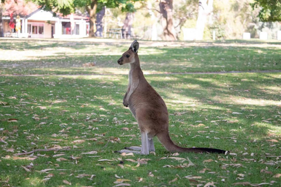 kangaroo stands upright in yanchep national park
