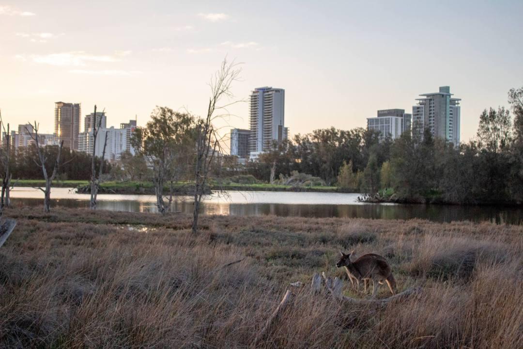 kangaroo on heirisson island with city view behind