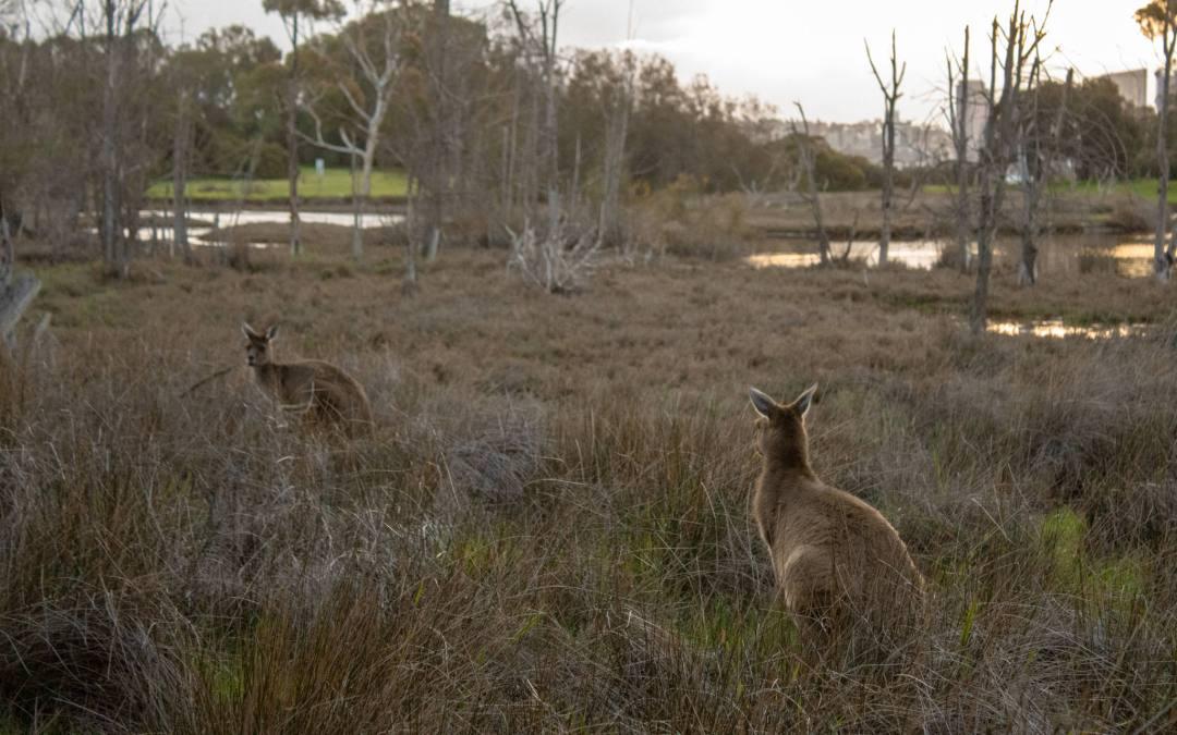 two kangaroos stand in bushland on heirisson island