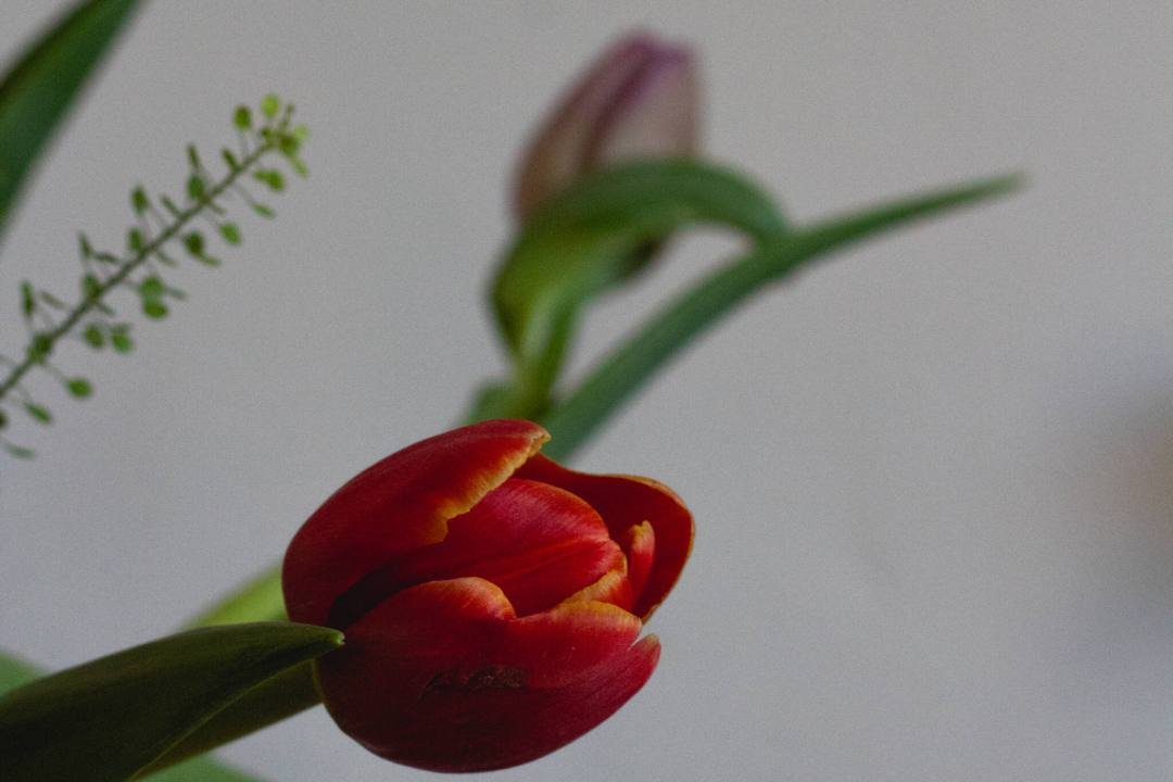 a close up photo of a red tulip bud