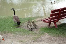 Canada Goose Gosslings