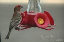 Oriole hummingbird feeder Colorado