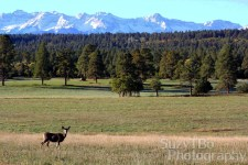 Mule Deer San Juan Mountains Ridgway Colorado