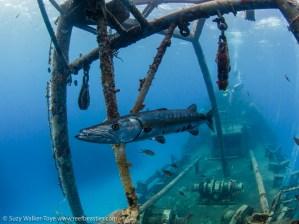 Barracuda on the Kittiwake, Cayman 2016