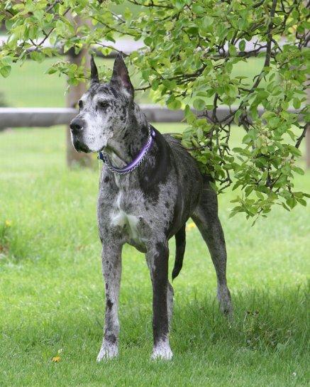 Danua Köpekleri Hakkında