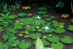 Lilly Pads of Vaipahi