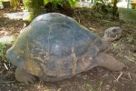 Harrison Smith Botanical Gardens - Galapagos Tortoise