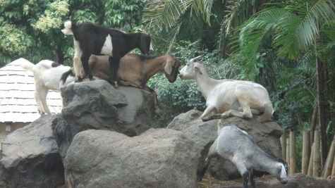 The ever present goats
