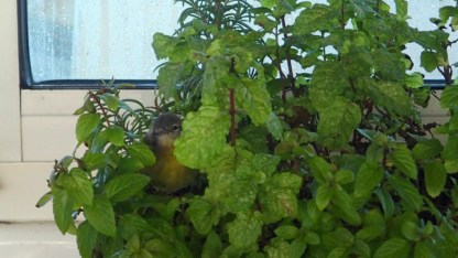 Nestled in to the mint plant. Just pretend you can't see him/her.