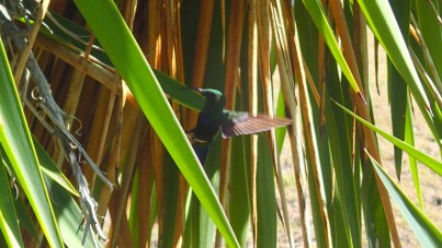 One of the many hummingbirds along the path