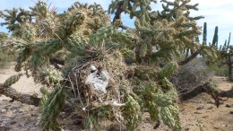 This is a bird's nest in a Cholla cactus. Wow.