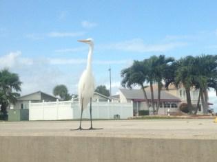 resident Great Egret