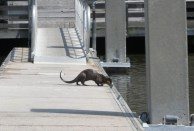 otter on the dock