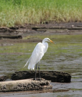 Great Egret on a log