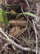 LS_20140206_112034 Rat Snake