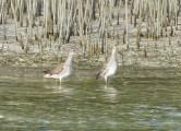 Short-billed Dowitcher, pair wading