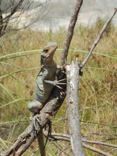 iguana on branch (photo credit: Dawn)