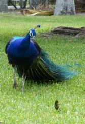 Indian Peafowl, male