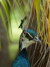Indian Peafowl, female, headshot