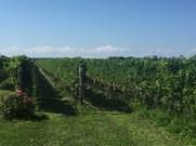 LS_20160819_153942 vineyard, Mattebella
