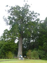 800 year old Kauri tree with 25' centre girth, another is nearby that is 600 yo.