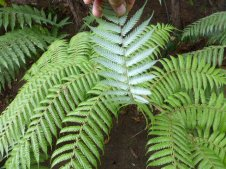 SILVER FERN - Very reflective fern surface on the bottom, has been used for using sun to signal and trail marking for night travel.