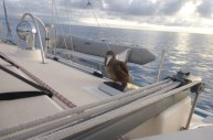 Boobie on board several nights while anchored at Minerva Reef.