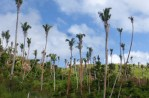 No Coconuts – It takes about 5 years for coconut trees to start producing coconuts after a cyclone where the leaves and branches have been stripped bare. Then this is growth since cyclone cat 5, Winston of Feb. 20th 2016, 5 months.